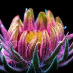 A luz invisível que plantas emitem