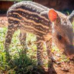 Pepino é o nome do bebê anta do Zoo de Brasília