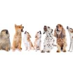 Por que os cachorros uivam?